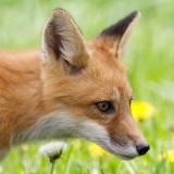 fox cub 94