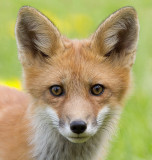 fox cub 95