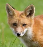 fox cub 96