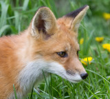fox cub 97