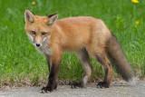 fox cub 98