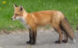 fox cub 99