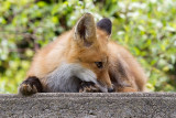 fox cub 101