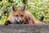 fox cub 102