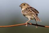 grasshopper sparrow 73