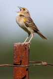 grasshopper sparrow 74