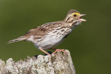 savannah sparrow 71
