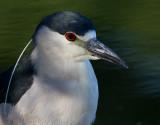 black-crowned night heron 242