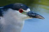 black-crowned night heron 244