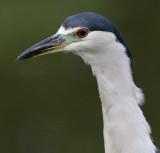 black-crowned night heron 245