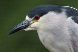 black-crowned night heron 247
