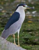 black-crowned night heron 248