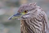 juvenile black-crowned night heron 408