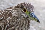 juvenile black-crowned night heron 409