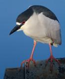black-crowned night heron 251