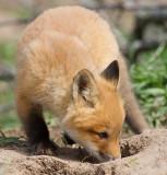 fox cub 108