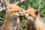 fox cub 109