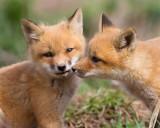 fox cub 110