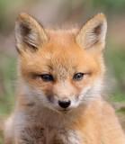 fox cub 111