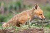 fox cub 112