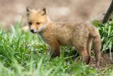 fox cub 113