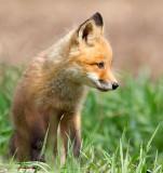 fox cub 114