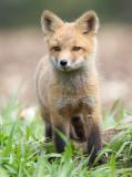 fox cub 115