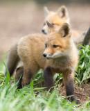 fox cub 116