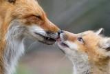 fox cub 117
