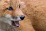 fox cub 121