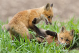 fox cub 122