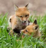 fox cub 124