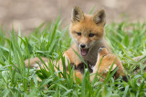 fox cub 125