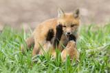 fox cub 126