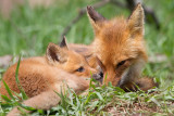 fox cub 127