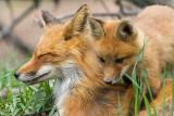 fox cub 128