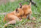 fox cub 129
