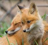 fox cub 130