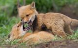 fox cub 131