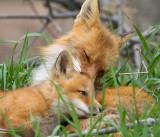 fox cub 132