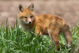 fox cub 133