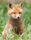 fox cub 134