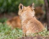 fox cub 135