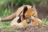 fox cub 136