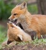 fox cub 137