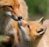 fox cub 138