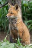 fox cub 139