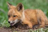 fox cub 140