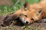 fox cub 141