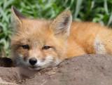 fox cub 142